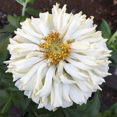 Zinnia Seeds - 115 Zinnias - Huge Selection of Annual Flower Seeds Cottage Garden, Small Space Gardening, Wildlife Gardening, Dream Garden, Flowers, Zinnia Flowers, Annual Flowers, Zinnias, Flower Seeds