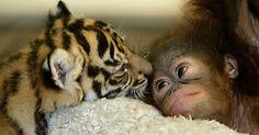 """A amizade entre dois tigres-de-sumatra gêmeos e dois orangotangos bebês começou quando eles dividiram o mesmo espaço no berçário de um zoológico na Indonésia. Rejeitados pelos pais, os quatro foram criados juntos e tiveram dificuldades de se acostumar com a separação, quando se tornaram jovens. A amizade é retratada no livro """"Unlikely Friendships"""" (Amizades improváveis), que mostra animais de espécies diferentes que foram flagrados em momentos de """"amizade"""""""