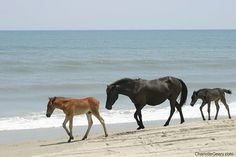 Wild mustangs-- thought to be survivors of Spanish galleon shipwrecks nearly 400 years ago-- live on the beach and among the dunes of Corolla on the OBX of NC. Can't wait to spend a week there this summer! Corolla Outer Banks, Outer Banks Nc, All The Pretty Horses, Beautiful Horses, Horse Love, Horse Girl, Wilde Mustangs, Chincoteague Ponies, Horse Photos