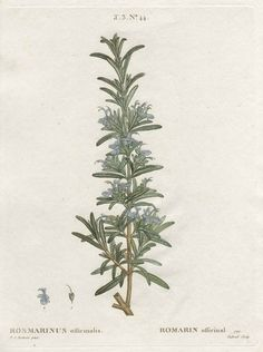 botanical print of rosemary