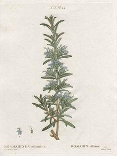 botanical print of rosemary