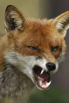 Fox Yawn On Pinterest Red Fox Arctic Fox And Fennec Fox