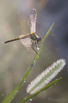 Photograph Dragonfly in the dew by Olga Viarenich on Very beautiful. Looks like sparkle Beautiful Bugs, Beautiful Butterflies, Amazing Nature, Dragonfly Decor, Dragonfly Wings, Dragonfly Photos, Beautiful Creatures, Animals Beautiful, Gossamer Wings