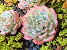 Echiveria colorata