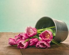 Silver can of pink fresh tulips. Fine Art Still Life Photography Print for Home Decor Wall Art. Silver metal container of fresh cut pink tulips. Still life of fresh tulip flowers. ~~ SELECT DESIRED SIZE USING THE OPTIONS BUTTON ABOVE ADD TO CART. Available in: 5x7, 8x10, 11x14, 12x18, 16x24, 20x30, 24x36 prints.