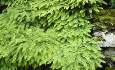 Wildflowers and plants for woodland garden - American Maidenhair Fern