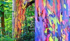 Les eucalyptus aux couleurs de l'arc-en-ciel: Ces arbres australiens perdent leur écorce pour arborer des couleurs vibrantes et particulières.