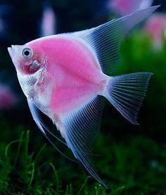 Peixe rosa :D