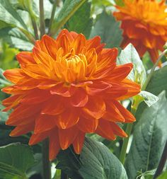 Growing Dahlias From summer till frost, dahlias are tireless performers for any garden.