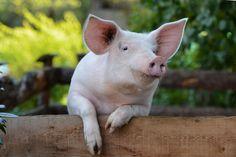 Unsere Land-Metzgereien machen aus glücklichem Borstenvieh einen schmackhaften Schinken und andere leckere Fleisch- und Wurstspezialitäten Cute Pigs, Marketing, Koi, Wall Murals, Pictures, Plein Air, Animales, Photos, Funny Pictures