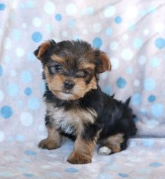 💙💙💜💜Blessing your feed with all the #Cuteness! This little #Morkie puppy is to cute not to share. Abby's small #EndearingEyes are sure to make you all in love with her!🐶 #Charming #PinterestPuppies #PuppiesOfPinterest #Puppy #Puppies #Pups #Pup #Funloving #Sweet #PuppyLove #Cute #Cuddly #Adorable #ForTheLoveOfADog #MansBestFriend #Animals #Dog #Pet #Pets #ChildrenFriendly #PuppyandChildren #ChildandPuppy #LancasterPuppies www.LancasterPuppies.com Morkie Puppies For Sale, Lancaster Puppies, Animals Dog, Fun Loving, Mans Best Friend, Say Hello, Blessing, Puppy Love, Teddy Bear