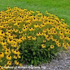 Rudbeckia American Gold Rush Black-Eyed Susan for Sale | Rare Roots Outdoor Plants, Garden Plants, Outdoor Gardens, Cut Flowers, Yellow Flowers, Wild Flowers, Mixed Border, Farm Online, Victory Garden