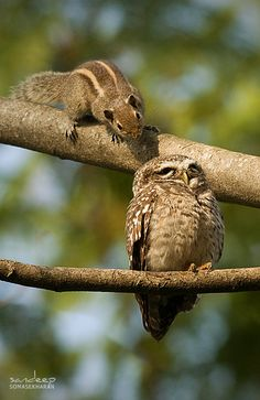 A natural portrait of an owl and a squirrel is when the latter is in the claws of the former. Owls and owlets are generally fond of rodents, and squirrels do fall under their diet regime. Strangely...