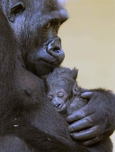 I love this photo of a Gorilla Mother and her baby.
