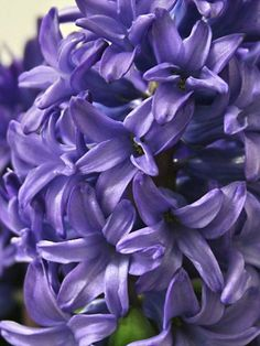 Hyacinth Minos: A Deep Blue Good For Garden, Pots And Cut Flowers.