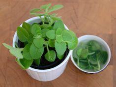 Rýmovník (Plectranthus amboinicus) je léčivá rostlina, kterou lze pěstovat jako běžnou pokojovkua a vlétě jako balkonovku. Její vzhled je poněkud nekompaktní a musí se často zastřihovat. Ovšem to je super, … Fruit Tea, Spinach, Herbalism, Remedies, Health Fitness, Healing, Herbs, Pesto, Vegetables