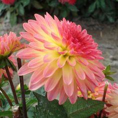 "Delighting Glow Dahlia (4"" bloom): miniature dahlia."