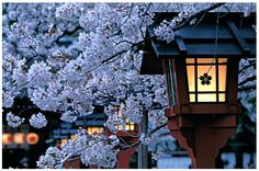 Blooming cherry blossom – sakura – and traditional lanterns in Hirano Shrine, Kyoto, Japan; photograph by Frantisek Staud Cherry Blossom Japan, Cherry Blossom Season, Cherry Blossoms, Japan Sakura, Kyoto Japan, All About Japan, Traditional Lanterns, Japanese Landscape, Japan Photo