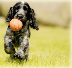 Book the best Dog training classes and Dog trainers in India. We provide the best dog obedience and Dog training in India. Get an Experienced Pet Dog trainer at your Home in India. Spaniel Breeds, Dog Breeds, Sprocker Puppies, Organic Dog Food, Puppy Stages, Dog Training Techniques, Best Dog Training, Free Dogs, Dog Park