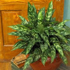 Super-Easy Houseplants - CHINESE EVERGREEN:  Excellent foliage plant for low to medium light; arching, lance shape leaves which are varigated with silver, gray or shades of green; 1-3ft high and 1-3ft wide; low to medium light; evenly moist soil.