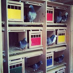 Racing pigeon loft Racing Pigeon Lofts, Pigeon Cage, Pigeon House, Pigeon Breeds, Homing Pigeons, Dove Pigeon, Bird Cages, Animal House, Livestock