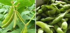 Edamame sind unreif geerntete grüne Sojabohnen und stammen ursprünglich aus Japan. Wir verraten, worauf du bei Einkauf, Anbau und Zubereitung achten solltest.