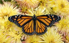Matemáticas para explicar el largo viaje de las mariposas monarca | Matemática Positiva | Scoop.it