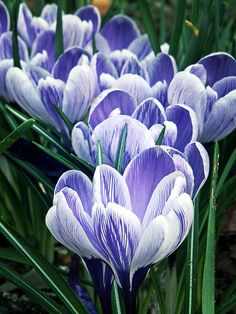 Crocus by belindamary Shade Garden Plants, Tulips Garden, Planting Flowers, Amazing Flowers, Beautiful Flowers, Bloom Blossom, Spring Bulbs, Cool Plants, Flower Pictures