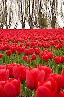 Tulip Festival, Skakgit Valley | PhotoBotanic Stock Photography Garden Library