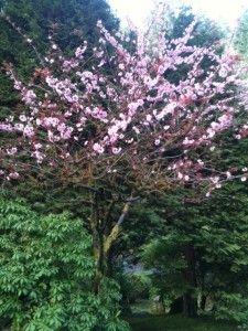 Spring blooms - Portland Japanese Gardens