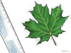 Measure the leaves. Leaves on a sugar maple average between 3 inches cm) and 5 inches cm) long, and equally as wide. Maple Tree, Maple Syrup, Plant Leaves, Sugar, Sweet, Plants, Candy, Plant, Planets