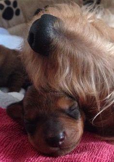 Mommy & baby wire-haired Dachshund