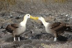 ガラパゴスアホウドリ Waved albatross courtship ◆ガラパゴス諸島 - Wikipedia https://ja.wikipedia.org/wiki/%E3%82%AC%E3%83%A9%E3%83%91%E3%82%B4%E3%82%B9%E8%AB%B8%E5%B3%B6 #Galapagos_Islands