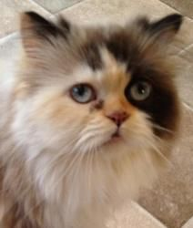 Roxy is an adoptable Persian Cat in Loveland, CO. Miss Roxy is a beautiful Persian being displaced simply because of a move/landlord rules :( She's a beautiful calico Persian w/blue eyes