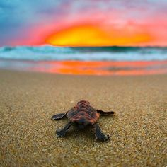 Sea Turtles and Sunrise photo by: Ben Hicks Cute Baby Turtles, Cute Baby Animals, Sea Turtle Wallpaper, Sea Turtle Pictures, Under The Ocean, Turtle Painting, Turtle Love, My Spirit Animal, Sea Creatures