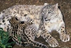 Snow leopard (Uncia uncia) Mountains of N Asia, Female with 6 week old cubs, Port Lympne Wild Animal Park, UK