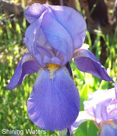 Shining Waters | Historic Iris Preservation Society