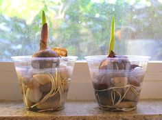 Science for Kids: Observing Plant Growth with Bulbs. from buggy and buddy.com