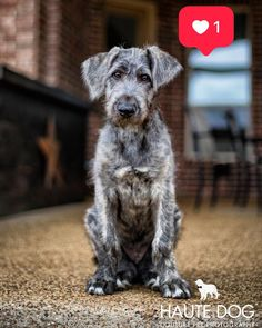 Fletcher is checking in with his 12 week photo pupdate Irish Wolfhound Puppies, Irish Wolfhounds, Scottish Deerhound, Bedlington Whippet, Lurcher, Super Cute Puppies, Cute Dogs, Dog Rules, Dachshund Love