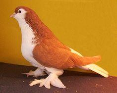 Lahore Baby Pigeon, Pet Pigeon, Pigeon Loft, Pigeon Bird, Dove Pigeon, Pretty Birds, Beautiful Birds, Animals Beautiful, Lahore Pigeon
