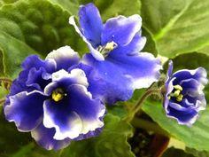 Anthoflores Barnabe(Harster Greenhouses) Semidouble white pansy, dark blue radiant eye; medium green, pointed; Large