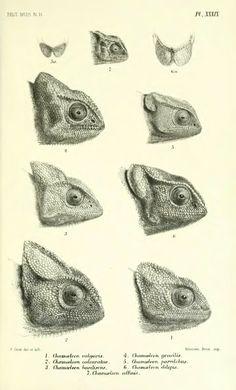 Lacertidae, Gerrhosauridae, Scinoidae, Anelytropidae, Dibamidae, Chamaeleontidae - BioStor