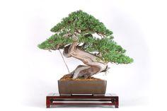 www.davidbenavente.com producto juniperus-chinensis-var-hokkaido