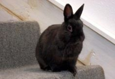 Annie is an adoptable Netherland Dwarf Rabbit in Portland, OR. Annie is a tiny girl weighing in at just 2