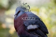 victoria crowned pigeon - Portrait photo of the Victoria Crowned Pigeon.