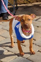 Rosie P is an adoptable Pit Bull Terrier Dog in Alpharetta, GA. Rosie (Herman for short) is a big dog in a little dog's body-- in the best way! She is a perpetually happy, ready for anything super-dog...