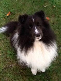 Bi Shetland Sheepdog. Looks like Donna's dog Dolly. Dolly will miss Donna so much. :(