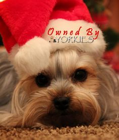 449 Best Y Rkiechristmas Images Yorkies Yorkshire Terriers