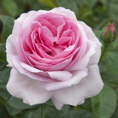 Pink rose EUREKA ® Meiagadou, Remote sale of roses - Meilland Richardier Tea Roses, Pink Roses, Roses Only, Tree Identification, Rosa Pink, David Austin Roses, Blooming Plants, Flower Backgrounds, Container Plants