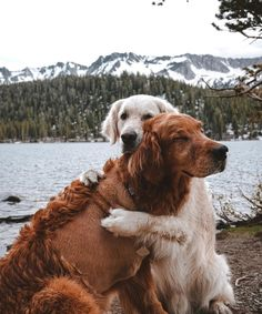 Top Friendliest Dog Breeds In The World! Check out top 5 best most friendly dog breeds. Friendliest dog breeds for kids! Cute Dogs And Puppies, I Love Dogs, Pet Dogs, Dog Cat, Pets, Doggies, Love You, Perros Golden Retriever, Golden Retrievers